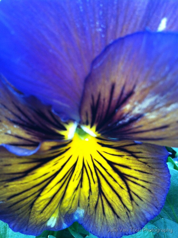 Pansy bright by Julie Van Tosh Photography