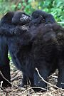 Mother & Baby Mountain Gorilla, Kwitonda Group, Rwanda by Carole-Anne