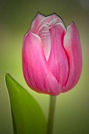 Tulip by M.S. Photography/Art
