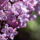 Lilacs by PhotoTamara