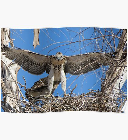 Red-tailed Chick #1 2012 (Wings wide) Poster