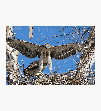 Red-tailed Chick #1 2012 (Wings wide) Photographic Print