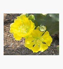 Cactus Flowers - Prickly Pear Photographic Print