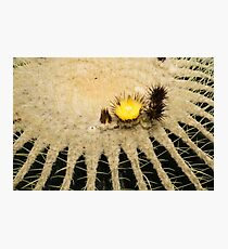 Fascinating Cactus Bloom - Soft and Fragile Among the Thorns Photographic Print