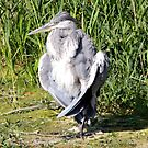 Grumpy Grey Heron by dilouise