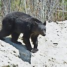 Black Bear by Wayne Wood