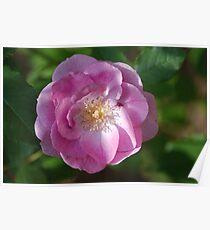 Pink Rose Close Up Poster