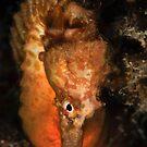 Big Bellied Seahorse by MattTworkowski
