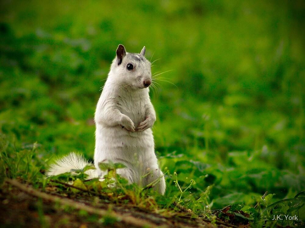 white squirrel by J.K. York