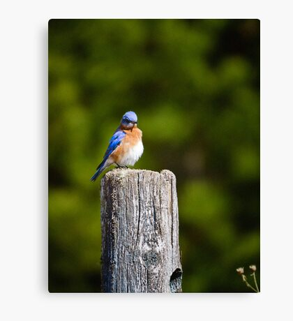 The Blue Bird of Happiness Obviously had it's Feathers Ruffled About Something Canvas Print