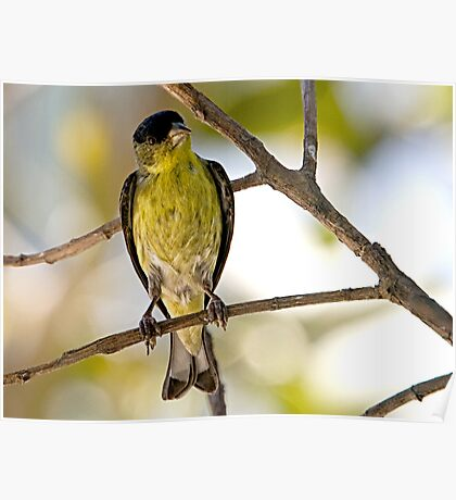Female Lesser Goldfinch Poster