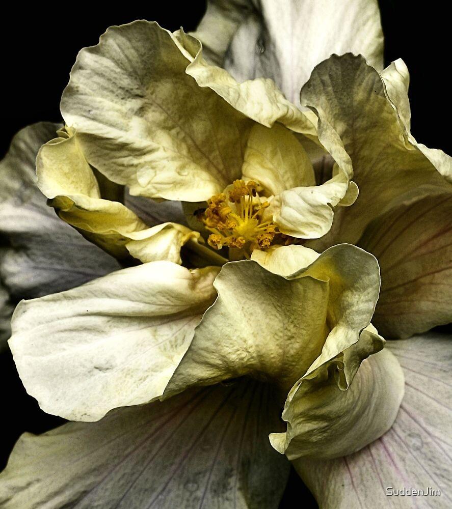 Folding Petals, Hibiscus by SuddenJim