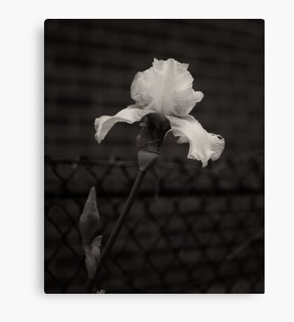 Blooming flower and fence dark image  Canvas Print