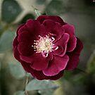 Little Rose just bloomed squared color by Jason Franklin