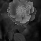 Little Rose black and white blurry background  by Jason Franklin