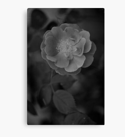 Little Rose black and white blurry background  Canvas Print