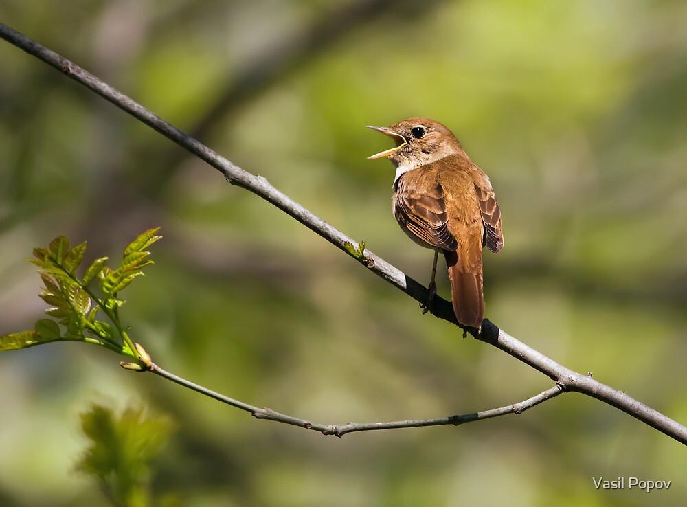 Nightingale  by Vasil Popov