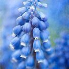 Grape Hyacinth  by Beth Mason