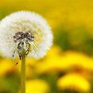 Dandelion 5 by Falko Follert