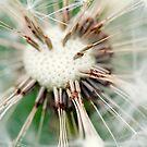 Dandelion 10 by Falko Follert