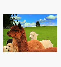 English Llama's, very rare breed !!. Photographic Print