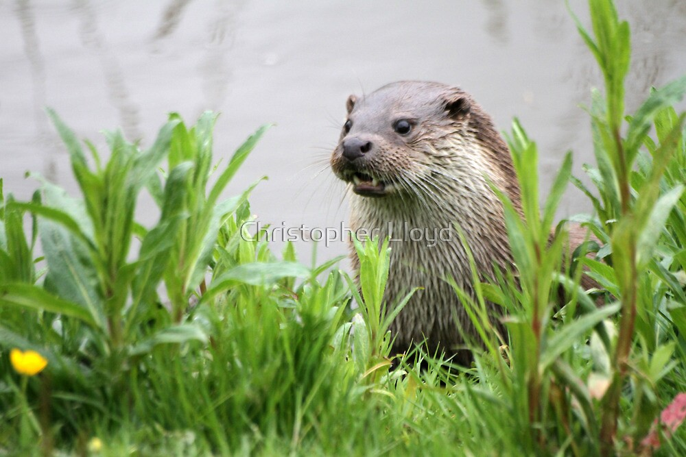 Otter by Christopher Lloyd