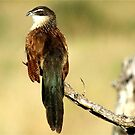 THE WHITE-BROWED COUCAL - Centropus superciliosus  (Witbrouvleiloerie) by Magriet Meintjes