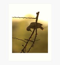 Golden-tailed Woodpecker, early morning light (South Africa) Art Print
