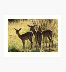 Young Impala, Mkuze game reserve, South Africa Art Print