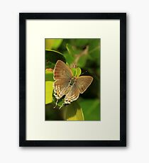 Purple-Brown Hairstreak - late afternoon light, (St Lucia, South Africa) Framed Print