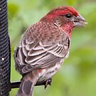 Purple Finch by Anthony Roma
