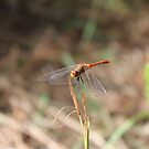 Red Dragonfly by AHakir