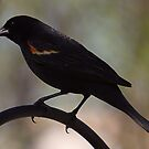 Blackbird Perched by Anthony Roma
