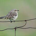 Northern Mockingbird by (Tallow) Dave  Van de Laar