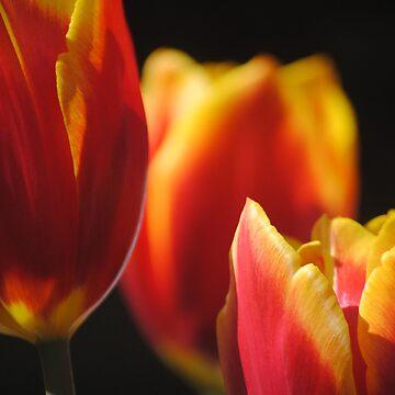 Tulips by Jonice