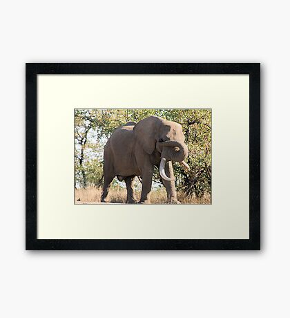 OUCH! GOT SOMETHING IN MY EYE - THE AFRICAN ELEPHANT – Loxodonta Africana Framed Print