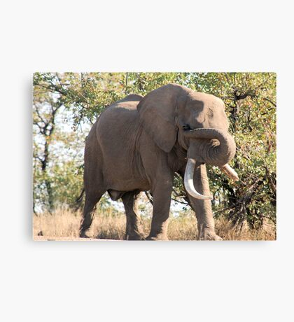 OUCH! GOT SOMETHING IN MY EYE - THE AFRICAN ELEPHANT – Loxodonta Africana Canvas Print