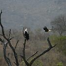 Fish Eagle Fly By by John Banks