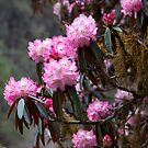Rhododendron, Langtang valley, Nepal by John Spies