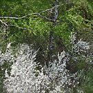 Colorful spring . Magura Małastowska . Welcome to Lemkivshchyna (Ukrainian: Лeмкiвщина, Lemko: Lemkovyna (Лeмкoвина), Polish: Łemkowszczyzna). may.2012. by © Andrzej Goszcz,M.D. Ph.D