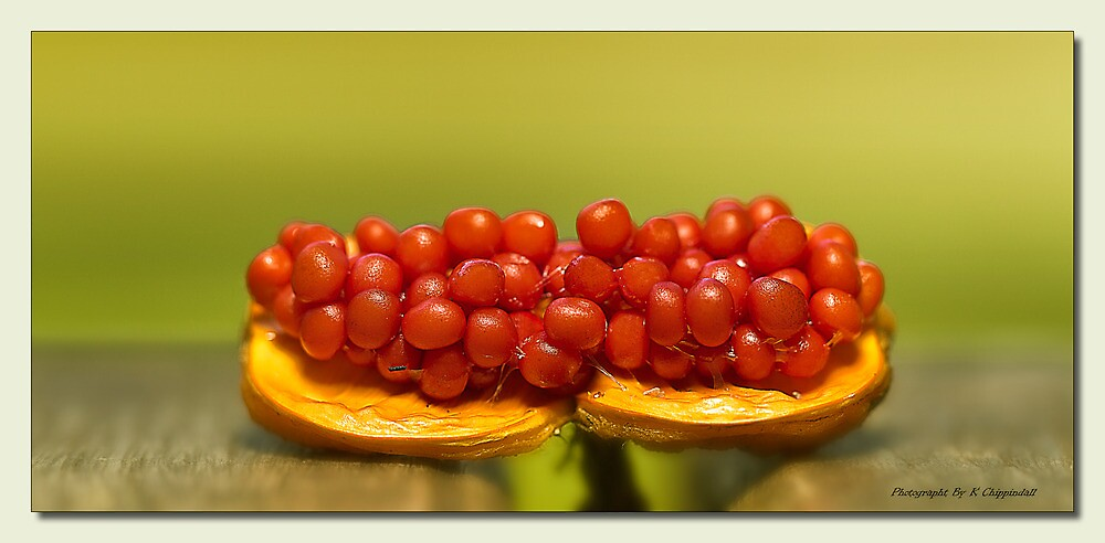Berry Red  by kevin Chippindall
