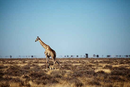 Giraffe escapes the photographers! by muzy