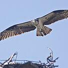 osprey by sbc7