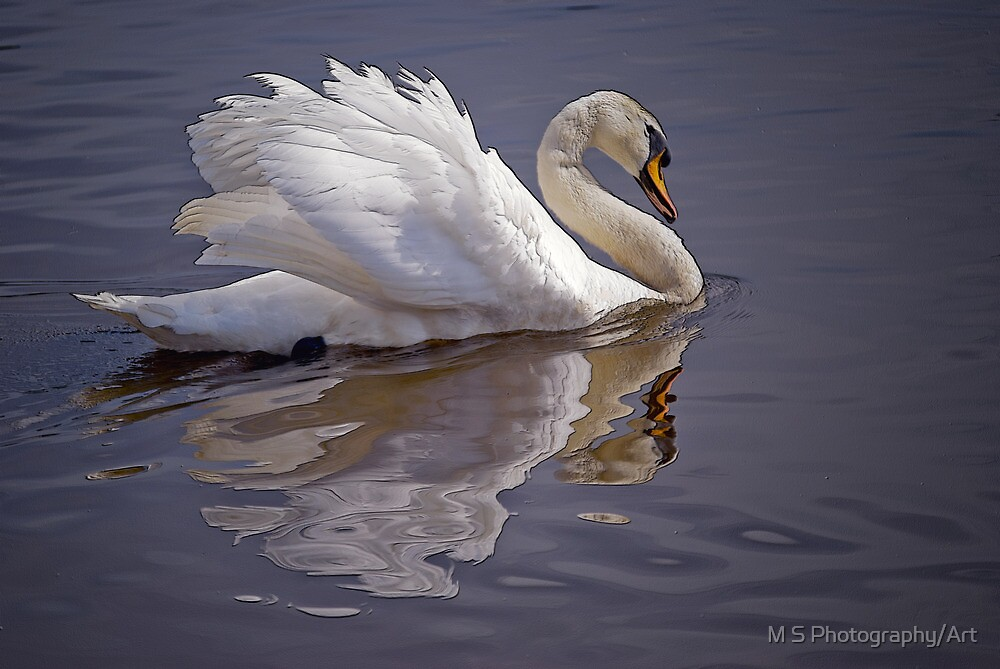 Mute Swan by M S Photography/Art