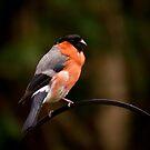 Bully The Bullfinch/Pyrrhula Pyrrhula by Chrissie Taylor