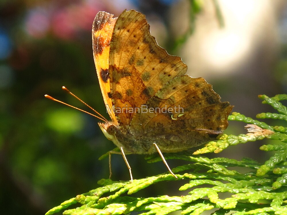 An exclamation in this Eastern Comma Polygonia by MarianBendeth