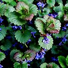 Wild Ground Ivy by Debbie Robbins
