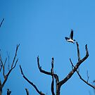 white-bellied sea eagle. bicheno, tasmania by tim buckley | bodhiimages