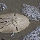 Sand Dollar by Brenda  Meeks