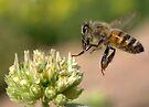 HONEY BEE IN FLIGHT by Betsy  Seeton